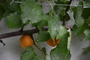 Unsere süss-saftigen Aprikosen